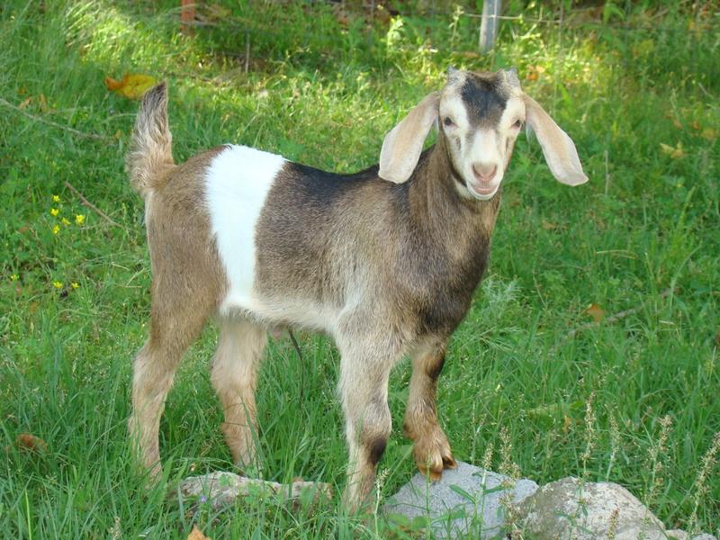 Goats6-7-09 008