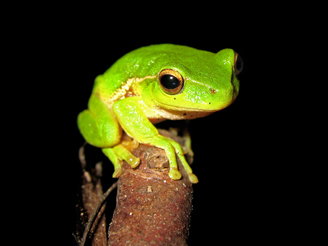 Litoria Phyllochroa - Leaf Green Treefrog ds a
