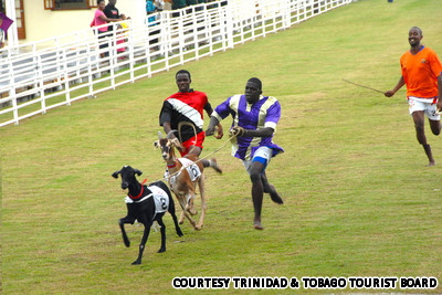 Inline4-goat-racing-in-tobago