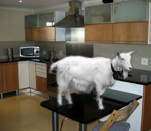 Kitchengoat2_1